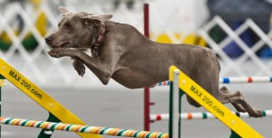 WCNI Winter Agility Trial @ Wag Agility Club | Spring Grove | Illinois | United States